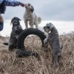 Kompositsioon musta, valge ja halli koeraga